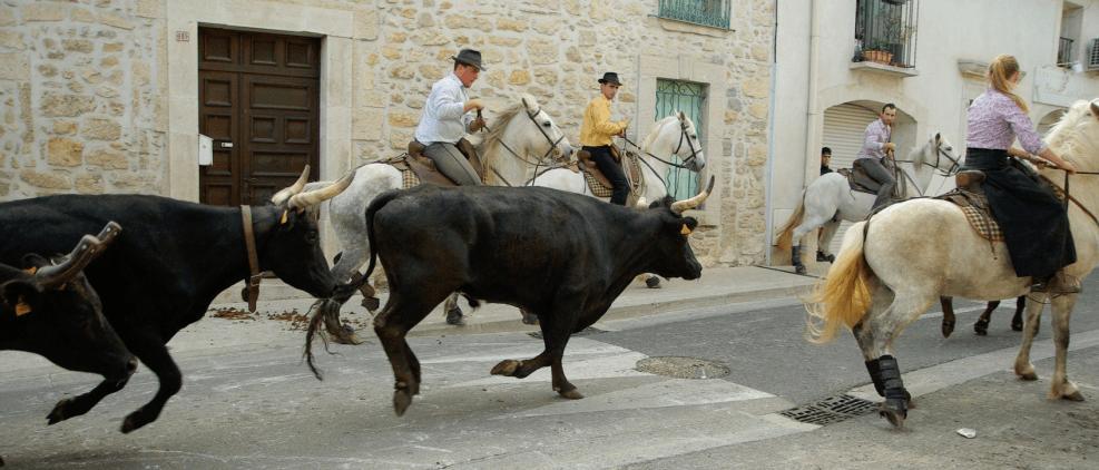 Stieren en paarden in de Camargue